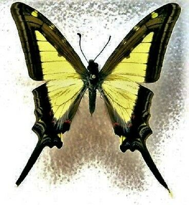 Peruvian Swallowtail Butterfly Eurytides leucaspis leucaspis Male Folded FAST