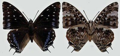 Lot of 10 Emperor Butterfly Charaxes etesipe etesipe Male Folded FAST FROM USA