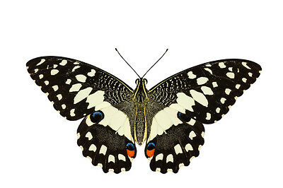 Lot of 2 Lime Swallowtail Butterfly Papilio demoleus malayanus Papered FAST USA