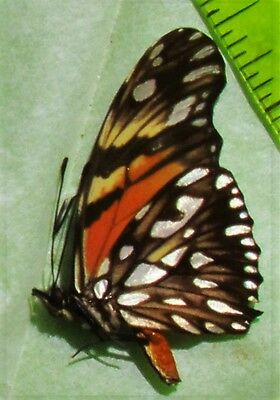 Juno Silverspot or Juno Longwing Butterfly Dione juno Papered FAST SHIP FROM USA