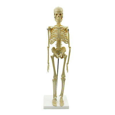 Human Model Anatomical Skeleton Stand Poster Medical Learn Aid Anatomy