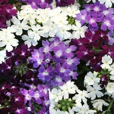 Verbena Quartz XP Waterfall Mix - 20 seeds - Annuals & Biennials