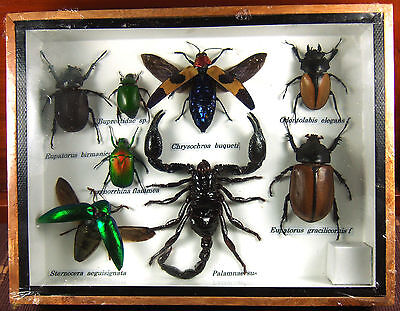 Real Butterfly Insect Bug Taxidermy Display Framed Box Small Set Gift FS gpasy 4