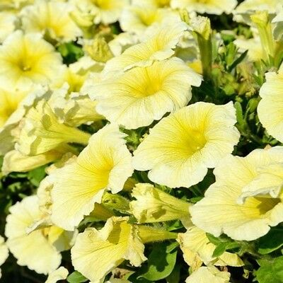 Petunia Express Yellow - 50 Pelleted seeds - Annual