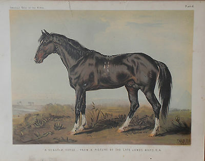 1876 Antique Cassell's DONGOLA HORSE Print HUNTING BREED - Chromolithograph