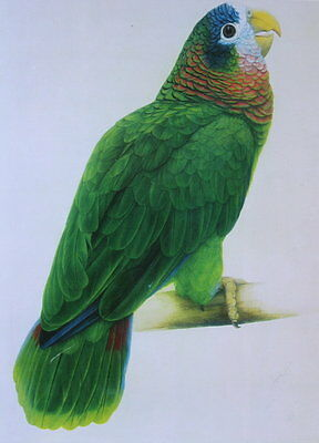 White Headed , or Cuban Amazon Parrot