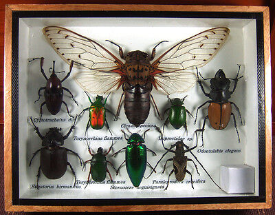 Real Butterfly Insect Bug Taxidermy Display Framed Box Small Set Gift FS gpasy 2