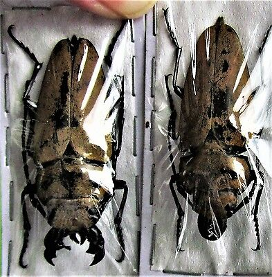 Sumatran Steampunk Beetle Log-boring Trictenotoma childreni  Pair FAST FROM USA