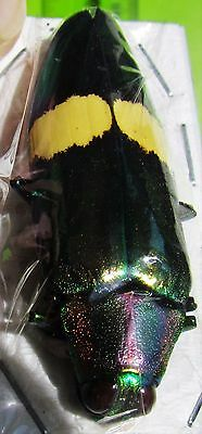 Rainbow Jewel Beetle Wood Boring Chrysochroa saundersi FAST SHIPPING FROM USA