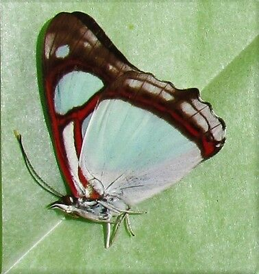 Gorgeous Pyrrhogyra otalais Butterfly Folded/Papered FAST SHIP FROM USA