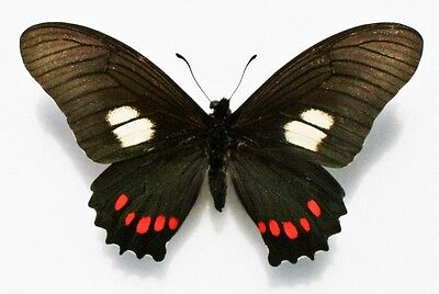 Lot of 2 Peruvian Swallowtail Butterfly Eurytides harmodius harmodius Papered