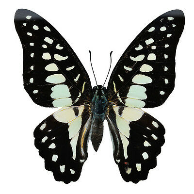 Lot of 2 Common Jay Butterfly Graphium doson axion Folded/Papered FAST FROM USA