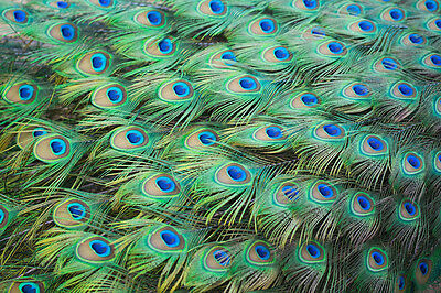 Beautiful Peacock Feathers Canvas Picture #10 Stunning A1 Canvas Free P&p