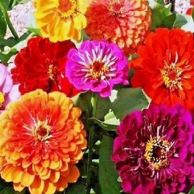 Zinnia elegans Giants of California mix - 3 grams Appx 375 seeds - Annuals