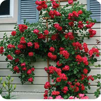 Fresh,40pcs RARE Red Climbing Rose seeds, *UK SELLER*