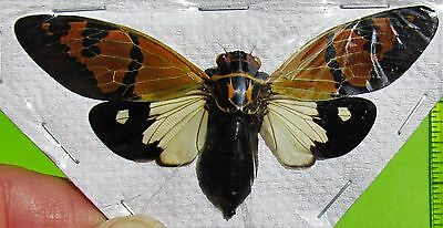 Beautiful White Festive Cicada Gaeana festiva Spread FAST SHIP FROM USA