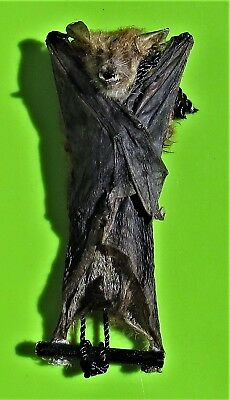 Clear-winged Woolly Bat Kerivoula pellucida Hanging FAST SHIP FROM USA