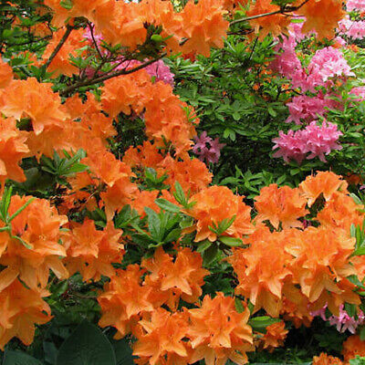 1 X Orange Azalea Japanese Evergreen Shrub Hardy Garden Plant In Pot