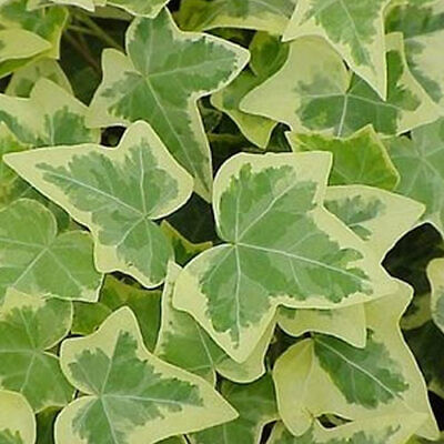 5 X Hedera Gold-Edged Trailing Ivy Climbing Evergreen Plant In Pot *not Plugs*