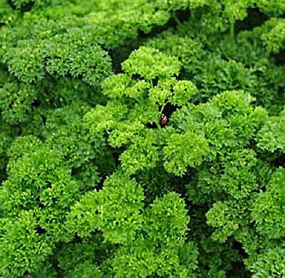 AFRO Parsley culinary edible HERB plant in 100mm pot