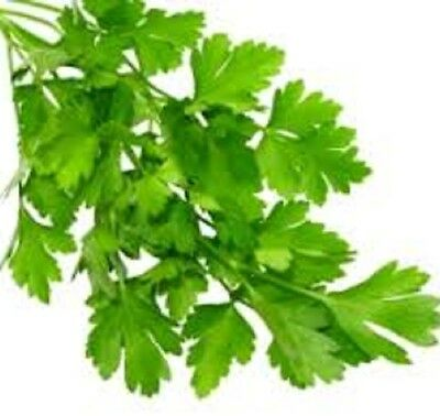 ITALIAN Parsley culinary edible HERB plant in 100mm pot