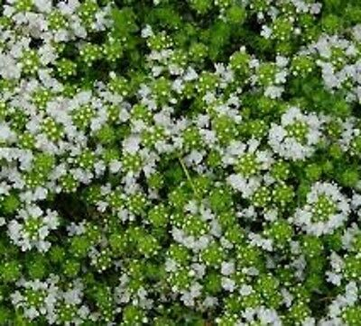 CREEPING WHITE THYME edible flowering  culinary herb plant in 100mm pot