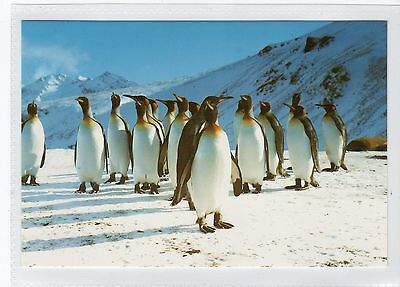KING PENGUINS AT ST. ANDREWS BAY: South Georgia postcard (C16676)