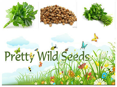 CORIANDER - HERB - 1500 TO 106,000 SEEDS FOR GROWING Bulk