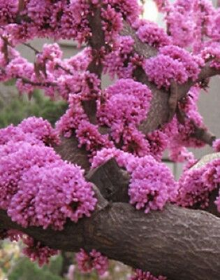 FR078 Chinese Redbud Cercis Chinensis x10 seeds