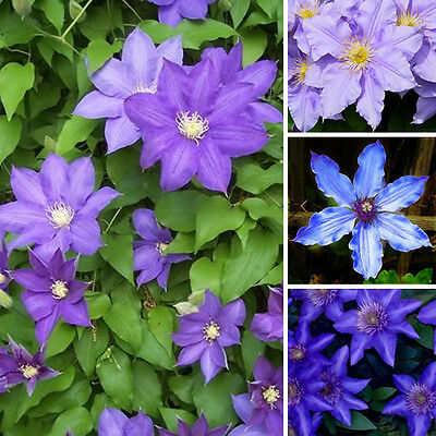 3 X Clematis Blue Purple Coloured Large Flowering Climber Hardy Plant In Pot