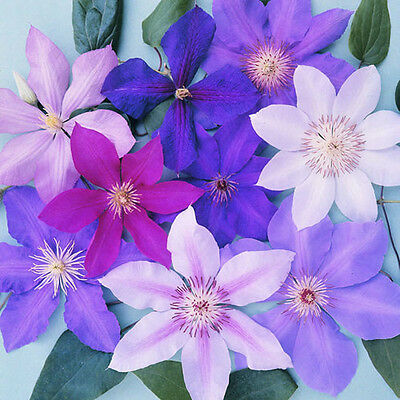 5 X Clematis Mixed Colours Large Large Flowering Climber Hardy Plant In Pot