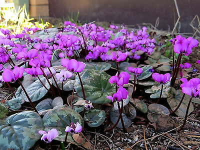 Cyclamen Coum  ( Deep pink or cerise winter flowers )  x  Fresh Seed
