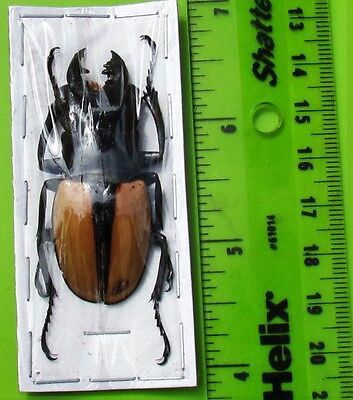 Indonesian Stag Beetle Odontolabis ludekingi 50-55 mm Male FAST SHIP FROM USA