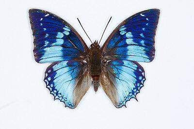 Western Blue Charaxes Butterfly Charaxes smaragdalis Male Folded/Papered FAST
