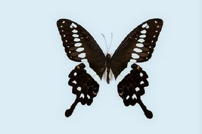 Central Emperor Swallowtail Papilio lormieri lormieri Male Folded FAST FROM USA