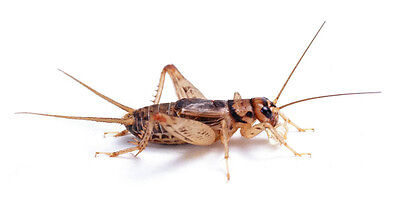 1000 Count All Sizes $28.99 Free Shipping Bulk Insects Live Crickets