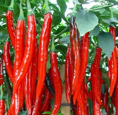 4 x LONG HOT CAYENNE CHILLI hot peppers herb plants –seedling punnet
