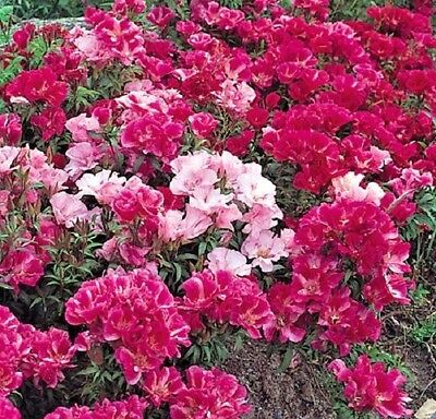 Flower - Godetia - Azalea Flowered double mix - Appx 3000 seeds - Annual