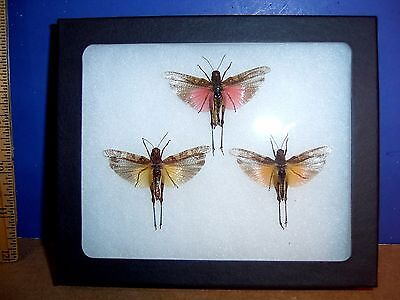 Framed Insect Cataptenopsis glaucopsis Trio in Natural Display  LQQK