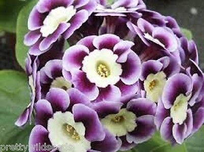 Primula Auricular Mixed Flowers Hardy Perennial 400 Fresh Seeds