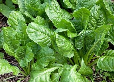 Spinach Perpetual (150 seeds)-Organic Heirloom from Life-Force Seeds