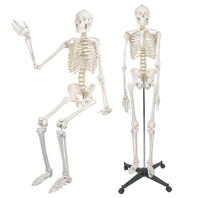 Life Size Human Anatomical Anatomy Skeleton Model with Spinal Nerves + STAND
