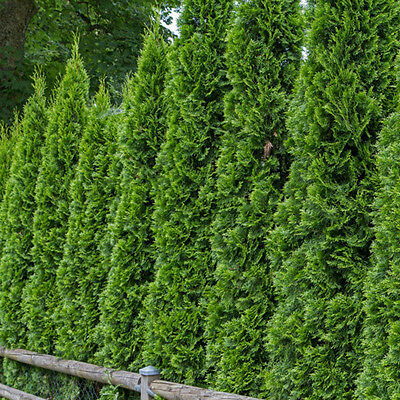 100Pc Siberian Carpet Cypress Emerald Green Arborvitae seeds flower bonsai plant