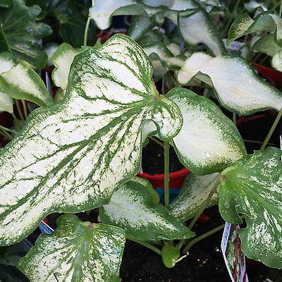 White Anne CALADIUM colourful tropical indoor house plant in 125mm pot