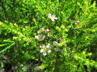 LEMON SCENTED TEA-TREE - MOZZIE BLOCKER (Leptospermum liversidgei) Seeds