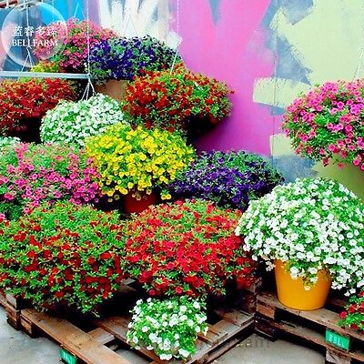 200 Seeds Mixed Color Kabloom Calibrachoa Mixed Bonsai Hanging Petunia