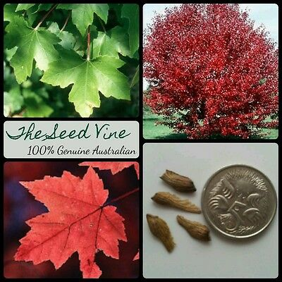 10 RED MAPLE SEEDS (Acer rubrum) Canadian October Glory Autumn Red Deciduous