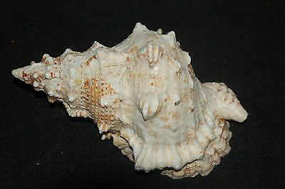 "Large Pacific Lampas Seashell 8.00"" (Frog Bursa)--fb-4"
