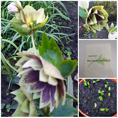 Helleborus x hybridus- 2016 FRESH OP SEED  Double Christmas Rose - 20 Seeds