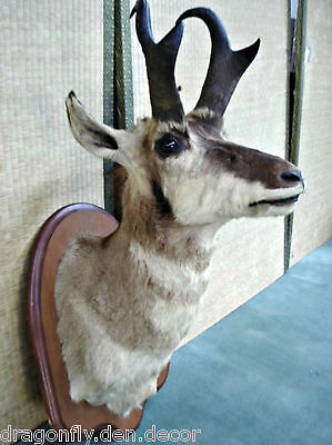 Quality Taxidermy - Pronghorn Antelope - Full Shoulder Head Mount